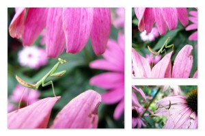 7-24-13 mantis on coneflower